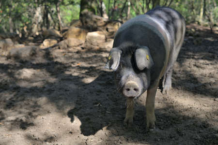The Cinta senese, very ancient tuscan breed of pig Cinta means belt, black pigs with a white belt Famous for its excellent meat with the DOP classification, Italy, Europe