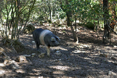 The Cinta senese, very ancient tuscan breed of pig Cinta means belt, black pigs with a white belt Famous for its excellent meat with the DOP classification, Italy, Europe Stock Photo