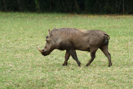 Central African warthog (Phacochoerus africanus massaicus) feeding in the African grassland, Uganda. Murchison Falls national park