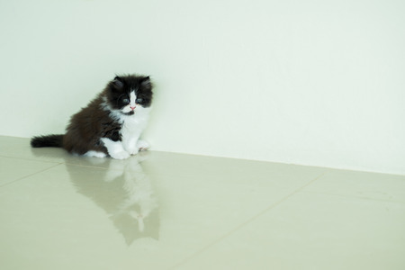 posting: Stock Photo - Adorable Black & White Kitten Posting Looking Stock Photo