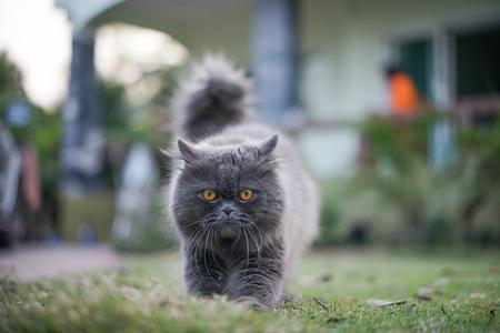 Gray cat watching boss
