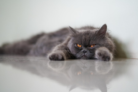 Stock Photo - A reflection of lazy cat Stock Photo