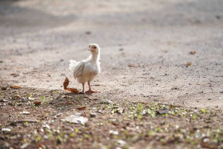 Stock Photo - A little chick on floor