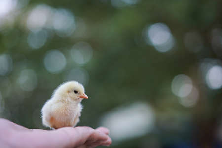 Yellow small chick in the  hands on a green bokeh background. Close up. Care about little animals, birds, nature saving