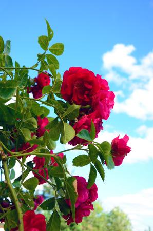 rose bush: Rose bush in the garden in summer