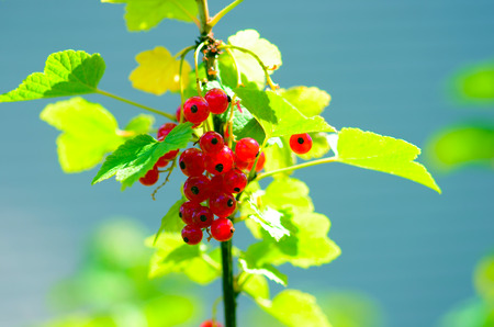 currant: Red currant on a bush