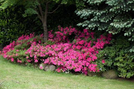 azaleas: flowering azaleas