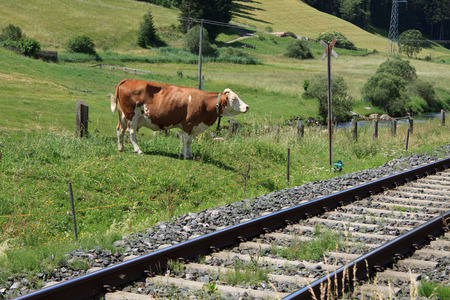 cow along the railway in Val Pusteria photo