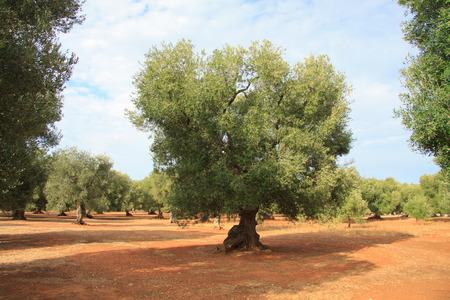puglia: olive trees in Puglia