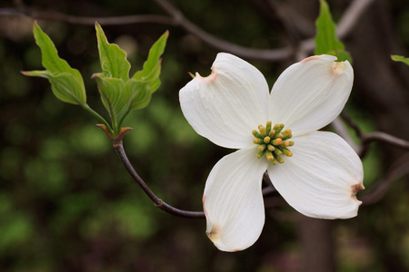 botanica: flower of Cornus Florida  Flowering Dogwood