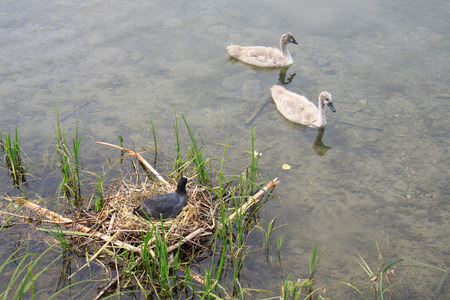 small black swan and coot in the nest photo