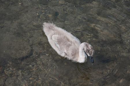anseriformes: Small Swan  Cygnus olor  Stock Photo