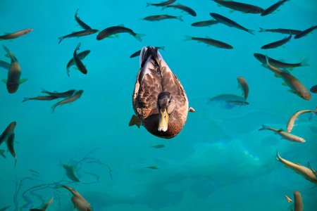 duck among the fish in the lake of Plitvice photo