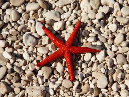 Red starfish  Echinaster sepositus  Stock Photo
