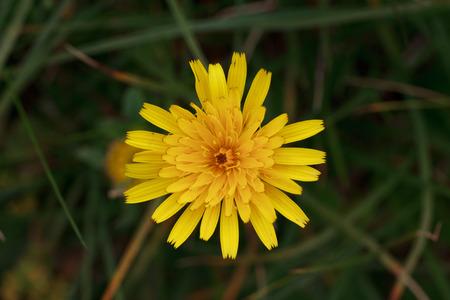hawkweed: hieracium hawkweed
