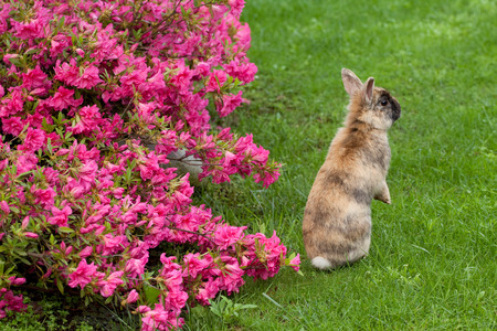dwarf rabbit and Azalea Japonica photo