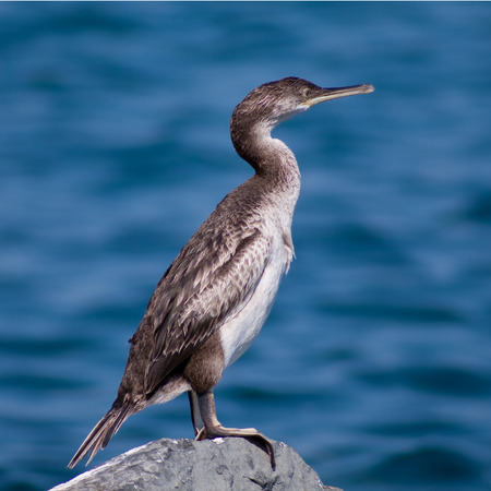 sanremo: cormorant