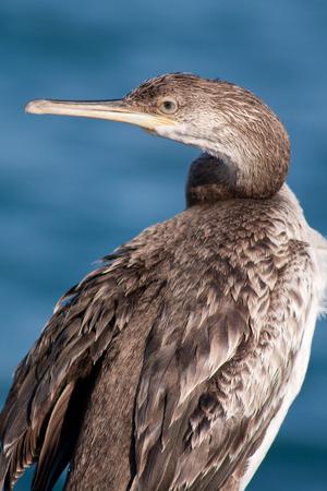 cormorant photo