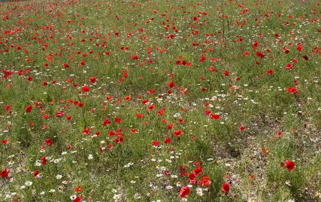 sibillini: Flowering in Castelluccio di Norcia - Monti Sibillini Stock Photo