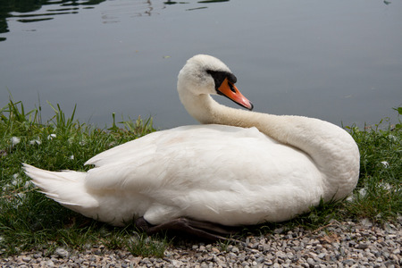 anseriformes: Swan during the hatching on the river Adda Stock Photo