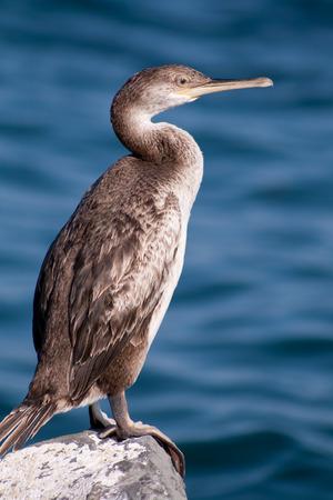 chordates: cormorant