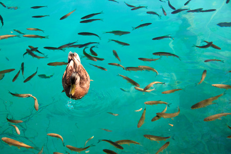 mallard and fish in the lake - National Park Plitvice photo