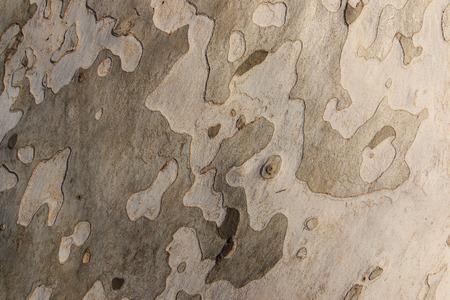 sycamore: bark of sycamore