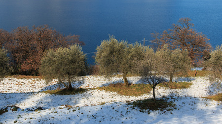 isola: olive grove in Monte Isola - lake Iseo