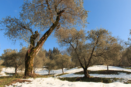 isola: olive grove in Monte Isola, Lake Iseo