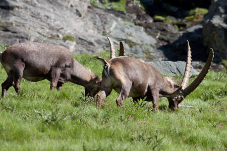 toed: male ibex (capra ibex) in the Gran Paradiso National Park Stock Photo