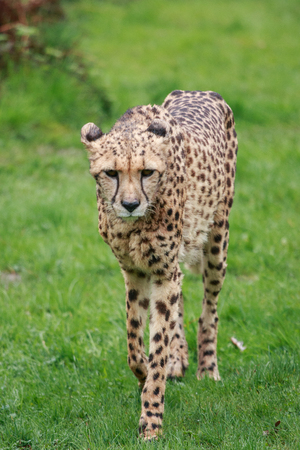 spotted fur: cheetah Stock Photo
