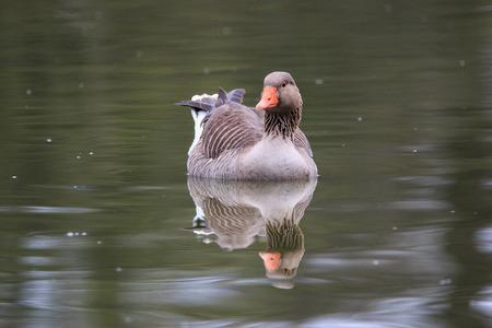 anser: Selvaticha Goose (Anser anser)