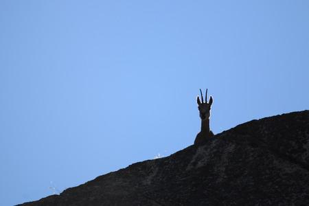 シャモア (Rupicapra rupicapra) で Valnontey、グラン ・ パラディーゾ国立公園 写真素材