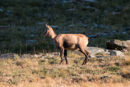 Chamois (Rupicapra rupicapra) in the upper Valnontey, in the Gran Paradiso National Park