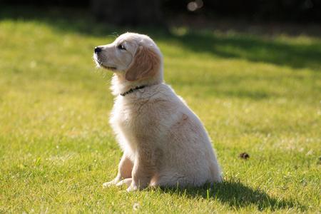 Golden retriever puppy in the garden