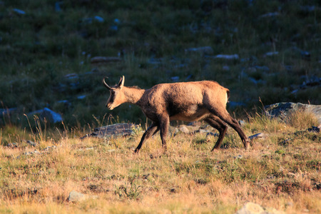 Chamois (Rupicapra rupicapra) in high Valnontey, in the Gran Paradiso National Park Stock Photo