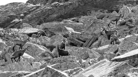 Chamois (Rupicapra rupicapra) in high Valnontey, in the Gran Paradiso National Park 版權商用圖片