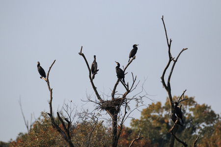 Cormorants on the top of the trees along the Adda river - Alberone Oasis Banco de Imagens - 101661800