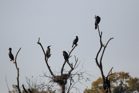 Cormorants on the top of the trees along the Adda river - Alberone Oasis Banco de Imagens