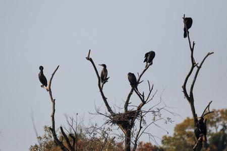 Cormorans au sommet des arbres le long de la rivière Adda - Alberone Oasis