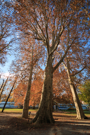 ancient plane tree in autumn, in the park of Villa Erba in Cernobbio Banco de Imagens