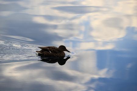 Mallard in the waters of Lake Como Stock Photo