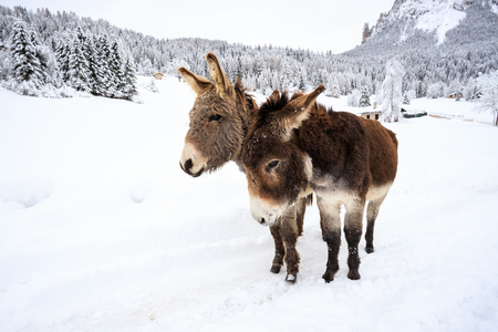 two donkeys on the snow, in Val Canali, in the natural park of Paneveggio - Dolomites