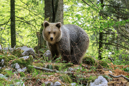 Brown bear (Ursus arctos) in the forest of Slovenia Stock Photo