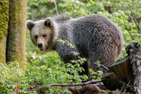 Brown bear (Ursus arctos) in the forest of Slovenia Banco de Imagens