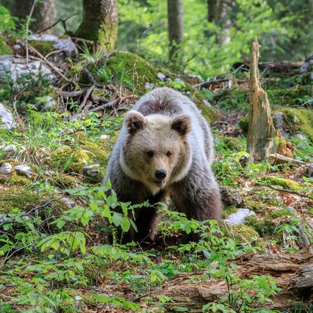 Brown bear (Ursus arctos) in the forest of Slovenia Banco de Imagens