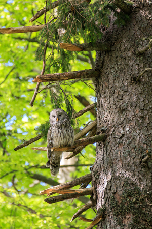 Owl of the Urals in the forest in Slovenia Banco de Imagens