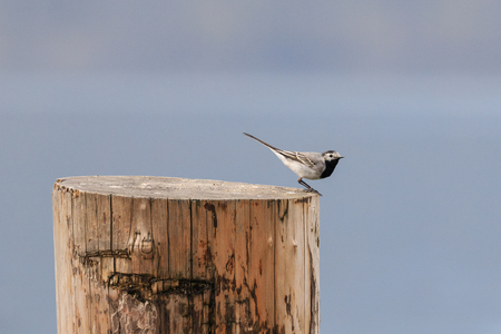 white wagtail (Motacilla Alba) Banco de Imagens