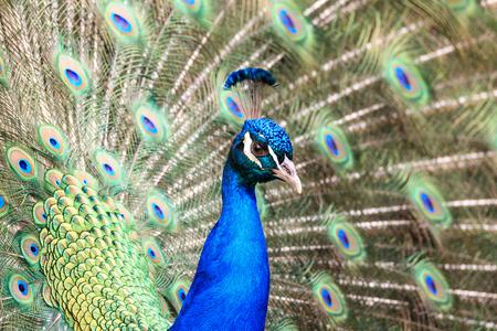male peacock (Pavo cristatus) Banco de Imagens