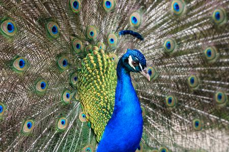 male peacock (Pavo cristatus) Stock Photo